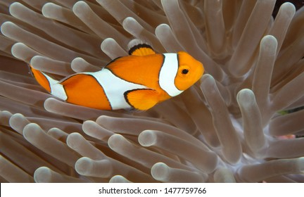Amazing underwater world - Western Anemonefish - Amphiprion ocellaris. Clown fish in anemone house. Tulamben, Bali, Indonesia.