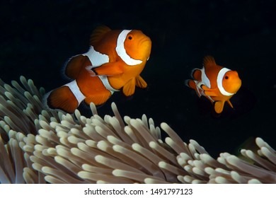 Amazing underwater world - Western Anemonefish - Amphiprion ocellaris in anemone house. Tulamben, Bali, Indonesia.