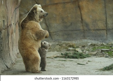 Amazing and very rare himalayan brown bear in the captivity. Ursus arctos isabellinus. Unique kind of brown bear from Czech Republic zoo. Mother with cute cub. Cute baby bear.