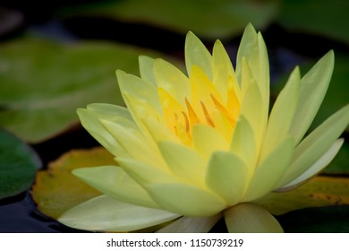 Amazing vibrant bright yellow water lily in a pond in a garden.