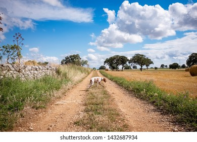Amazing view of Apulia countryside with dog walking along a road. Apulia region, Italy