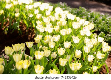 Amazing view of bright white tulips blooming in the garden at the middle of sunny spring day with green grass and blue sky landscape.