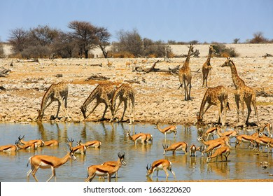 Amazing view of a busy waterhole in Etosha with lots of Giraffe and springbok drinking and wallowing in the water, with a natural rocky savannah and blue sky backdrop.  Etosha National Park