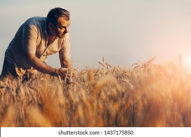 Amazing view with Man who check natural organic harvest In The Sunset Light. Farmer Walking Through Field Checking Wheat Crop.Wheat Sprouts In Farmer's Hand