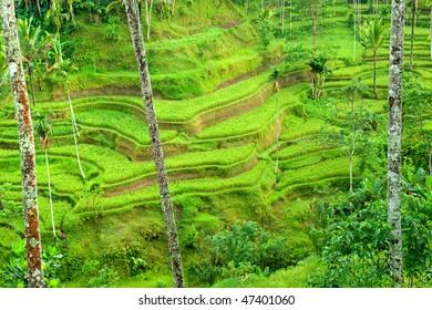 Amazing view of the Rice Terrace field, Ubud, Bali, Indonesia.
