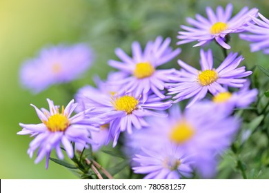 Amazing Violet Asters flowers on the garden in autumn. Polish flowers macro closeup with shallow depth of field