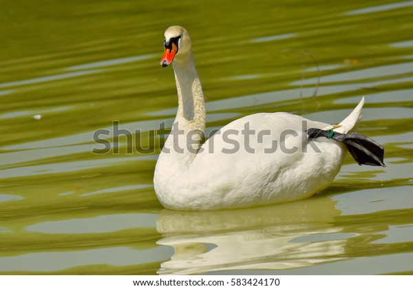 Amazing white Goose Floating in Water and looking towards people