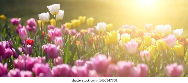 Amazing white tulip flowers blooming in a tulip field, against the background of blurry tulip flowers in the sunset light.