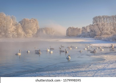 Amazing winter landscape with snow, ice and floating swans on a lake in the sunlight and fog against a blue sky and white trees in hoarfrost