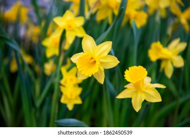 Amazing Yellow Daffodils flower field in the morning sunlight. The perfect image for spring background, flower landscape.