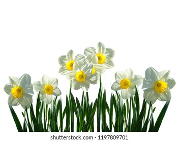Amazing Yellow and white Daffodils flower field in the morning sunlight, Daffodil flowers in the field, Close-up of a Field of White and Yellow Daffodils, isolated flowers
