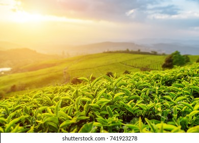 Amazing young upper fresh bright green tea leaves at tea plantation in rays of sunset. Rows of tea bushes and colorful evening sky are visible in background.