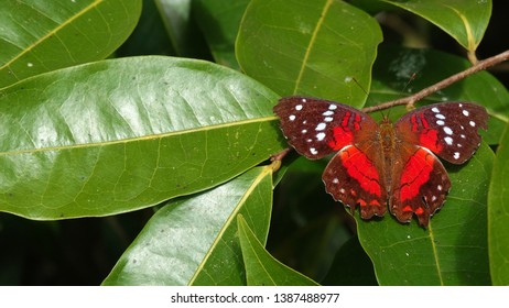 Sưu tập Bộ cánh vẩy 2 - Page 31 Amazon-forest-butterfly-brazil-augiades-260nw-1387488977