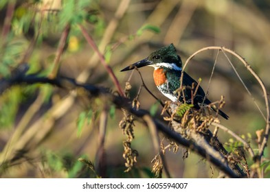 Amazon kingfisher - Chloroceryle amazona in Cano Negro Wildlife Refuge, Costa Rica