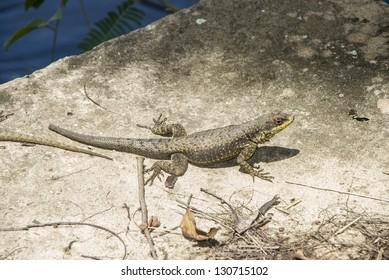 Amazon Lava Lizard (Tropidurus torquatus), Iguassu National Park, Misiones, Argentina. Portuguese: calango  Spanish: Lagarto trepador oriental, Camaleon de cola espinosa