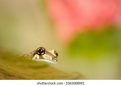 Amazon milk frog on grean leaf.