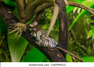 Amazon milk frog, Trachycephalus resinifictrix, emerging from leaves
