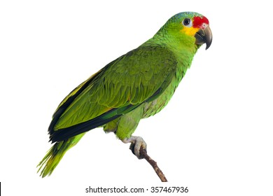 Amazon Parrot on whie