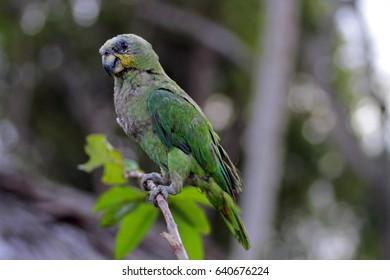 Amazon parrot, Orinoco delta, Venezuela