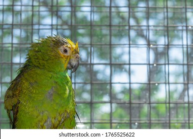 amazon-parrot-wet-feathers-after-260nw-1