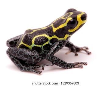 Amazon poison dart frog, Ranitomeya imitator, Baja Huallaga, Peru. Macro of a yellow striped animal from the Amazonian rain forest. Isolated on white.