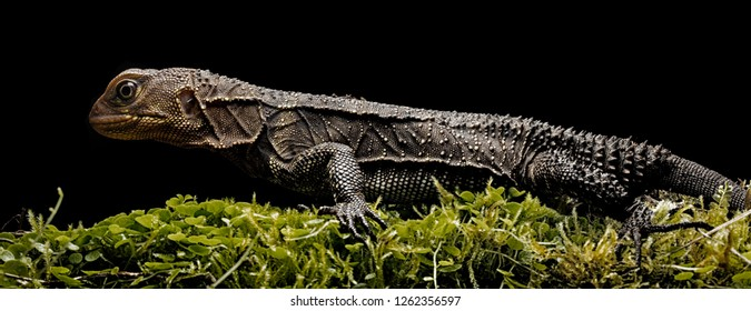 Amazon rain forest dragon, enyalioides sp. A tropical lizard from the amazonian rain forest in Colombia.