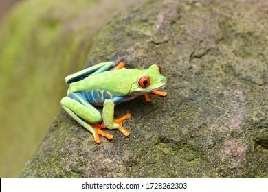 amazon red eyes frog, animal close up