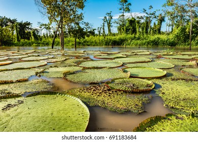 Amazon river lake full of giant lilly pads highlighted by morning sunshine