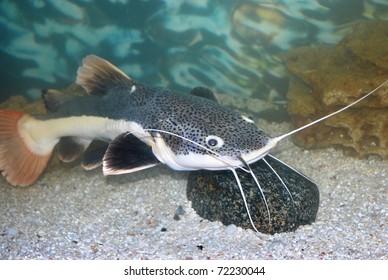 amazon sheatfish actocephalus nemioliopterus in aquarium with stone