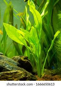 Amazon sword plant (Echinodorus amazonicus) on a fish tank