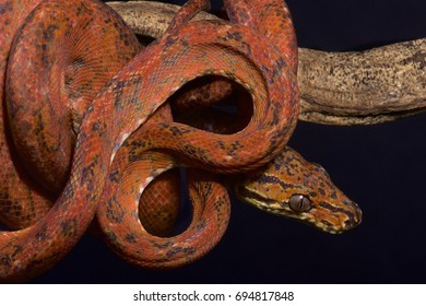 Amazon tree boa, Corallus hortulanus