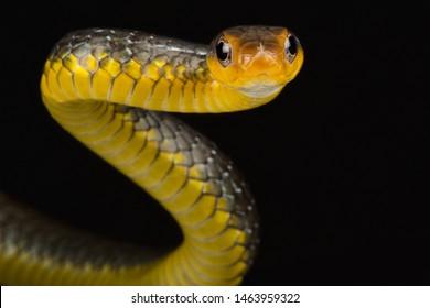 The Amazon whipsnake (Chironius carinatus)