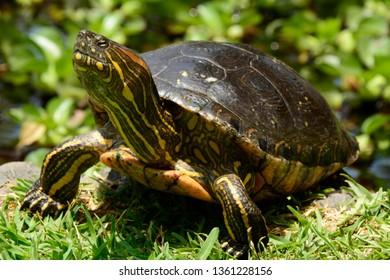 Amazonia aquatic turtle in park of Lima-PERU