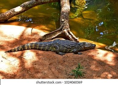 Amazonian crocodile near Iguazu Falls