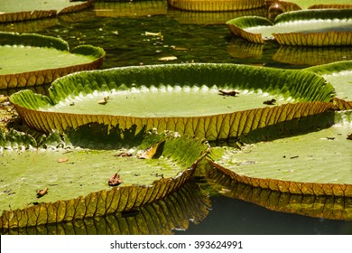Amazonian lily in water at the Belem, Para, Brazil. Victoria amazonica, Victoria regia