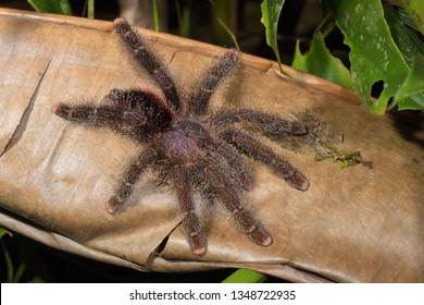 Amazonian Pink-toed Tarantula (Avicularia juruensis) Adult hunting in the Amazon rainforest at Cuyabeno Wildlife Reserve, Ecuador, South America.