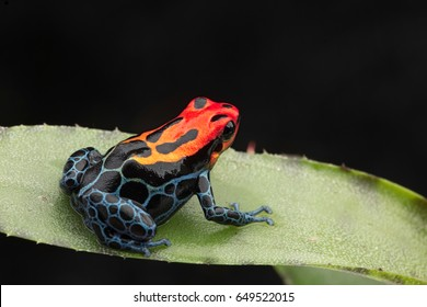 Amazonian Poison dart Frog, Ranitomeya ventrimaculata, Arena Blanca. Red blue poisonous animal from the Amazon rain forest of Peru.