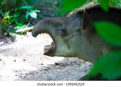 Amazonian Tapir in Perus Rainforest. Tapirus terrestris