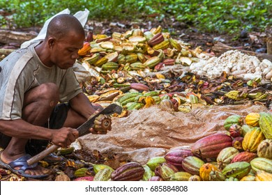 Ambanja, Madagascar, November 11, 2016: A Malagasy man preparing cocoa before fermentation.