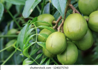 """Ambarella fruits (Spondias dulcis), also known as June Plum, no Brazil """"caja-manga"""" the fruit can be eaten raw or made into juice, preserves, jams or flavorings."""