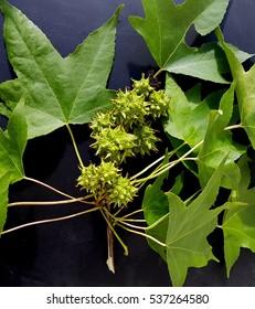 Ambeer tree; Fruit, liquidambar