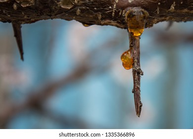 Amber drops of rosin on tree branch