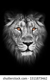 amber eyes on a black and white photo. lion male with mane lies with his paws out, isolated black background. Muzzle of a powerful male lion with a beautiful mane close-up.