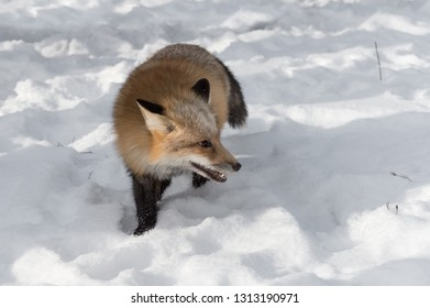 Amber Phase Red Fox (Vulpes vulpes) Steps Foward Looking Right Winter - captive animal