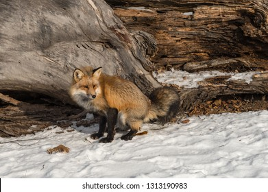 Amber Phase Red Fox (Vulpes vulpes) Defecates Near Log Winter - captive animal
