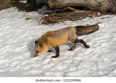Amber Phase Red Fox (Vulpes vulpes) Walks Left Through Snow Winter - captive animal