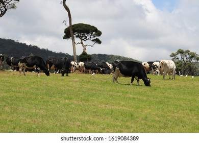 Ambewela is a small town, or a hill station, located in the Nuwara Eliya District of Sri Lanka. ... situated in this area. The two animal husbandries, Ambewela Farm and New Zealand Farm, have Ayrshire