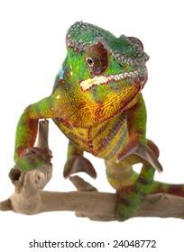 Ambilobe Panther Chameleon (Furcifer pardalis) isolated on white background.
