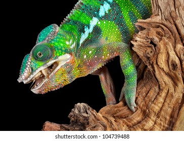 A ambilobe panther chameleon male is eating a cricket he just caught.