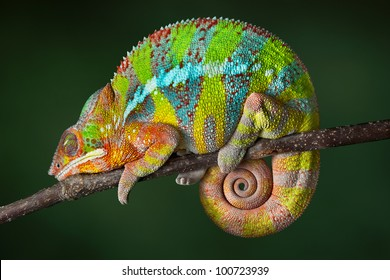 A ambilobe panther chameleon is sleeping on a branch.